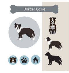Border collie dog breed infographic vector