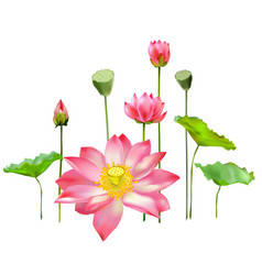 Flowers buds and leaves of the lotus royalty free vector mightylinksfo