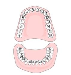 Teeth numbering vector image