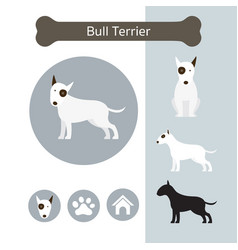 bull terrier dog breed infographic vector image
