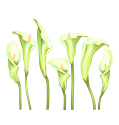 Flowers callas on a white background vector
