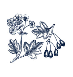 Hand drawn hawthorn with berries and flowers vector