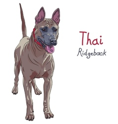 red Thai Ridgeback Dog breed standing vector image
