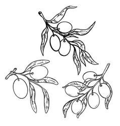 Set olive tree branch with olives design vector