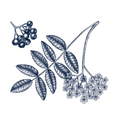 Hand drawn mountain ash with berries and flowers vector