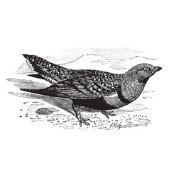 Sand grouse vintage vector