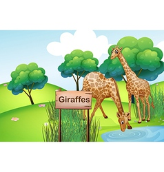 Two giraffes at the forest with a wooden sign vector