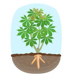 Cassava tree plant tapioca underground root vector