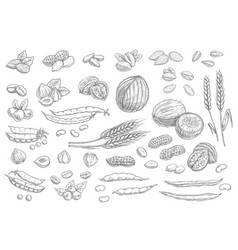 nuts cereal grains sketch icons cashew and almond vector image