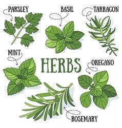 Herbs vector image