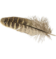 pheasant feather vector image