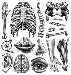anatomy human bones and muscles set organ vector image