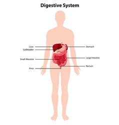 Diagram human digestive system vector