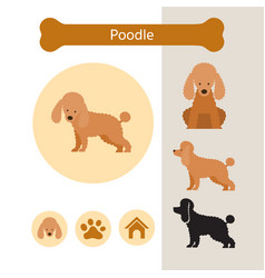 Poodle dog breed infographic vector