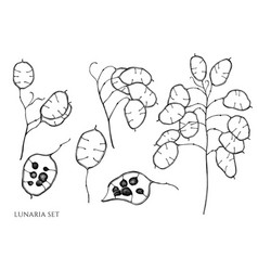set hand drawn black and white lunaria vector image