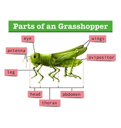 Diagram showing different parts of grasshopper vector image