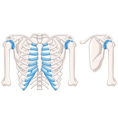 Diagram showing shoulder bones vector