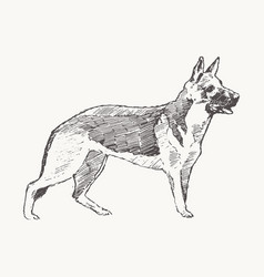 german shepherd dog realistic sketch drawn vector image