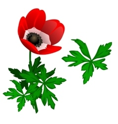 Blooming red Tulipan and leaves isolated vector image