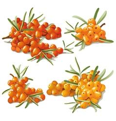 set of ripe sandthorn vector image
