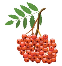 branch of mountain ash tree vector image