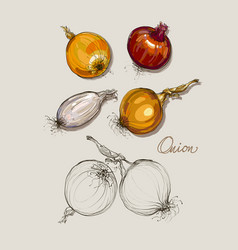 hand drawing realistic collections onion vector image