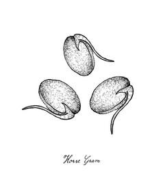 Hand drawn of horse gram or kulthi vector