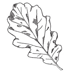 Leaf of winter oak designs were often on cornices vector
