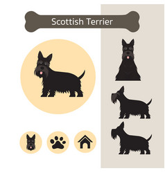 Scottish terrier dog breed infographic vector