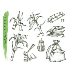 sugar cane or sugarcane isolated sketch symbols vector image