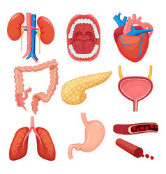 human organs collection brain liver lung stomach vector image