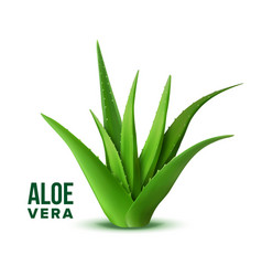 Natural vitamin healthy plant aloe vera vector