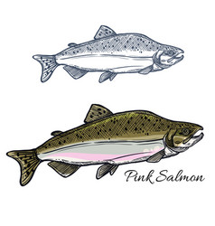 Salmon fish sketch for seafood and fishing design vector