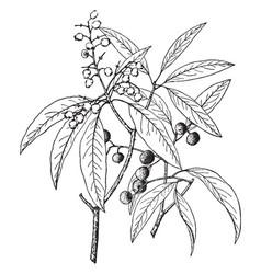 arbutus arizonica vintage vector image