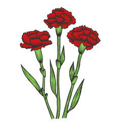 Dianthus carnation flowers sketch engraving vector