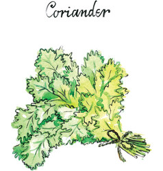 watercolor coriander vector image vector image