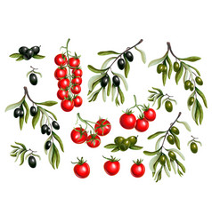 black olives branches and cherry tomato vector image