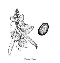 Fresh green runner bean plant vector