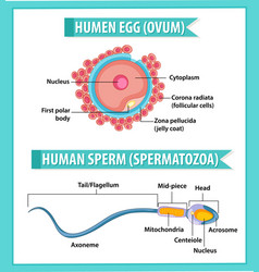 Human egg or ovum structure and human sperm or vector