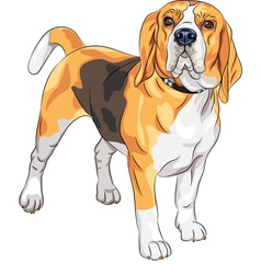sketch serious dog Beagle breed vector image vector image
