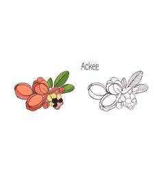 colored and monochrome drawings of whole and split vector image