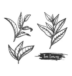 tea leaves sketch twig or stem ceylon herb vector image