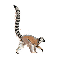 Lemur from a splash watercolor colored drawing vector