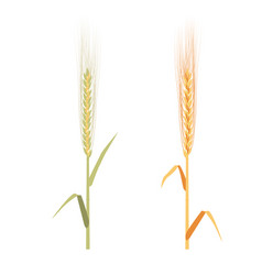 rye ripe and immature set vector image