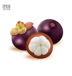 tropical mangosteen isolated on white background vector image