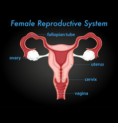 Female reproductive system diagram vector