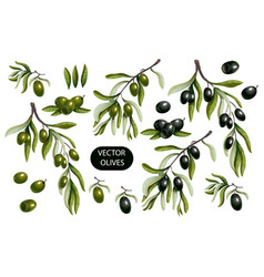 Black and green olives branches isolated vector
