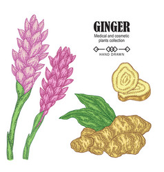 Ginger plant set hand drawn ginger root and vector