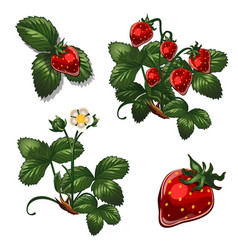 Strawberries berries in different stages of growth vector