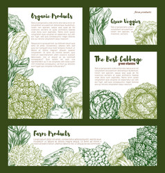 cabbages vegetables templates set vector image
